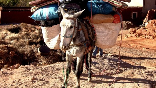 chargement des mules pour le Jebel Sirwa