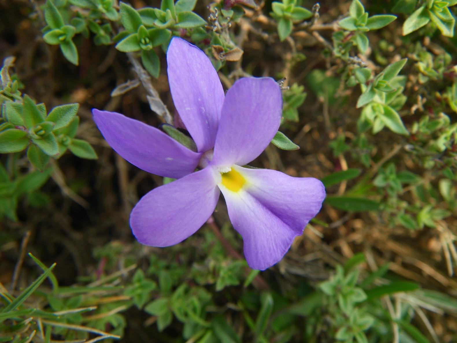 Viola-Corsa. Randonnée Cap Corse