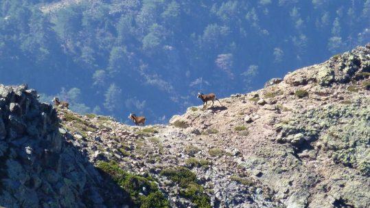 [circuit sauvage corse] Mouflons dans le bas du Capu Tafunatu