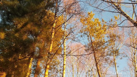 Près du refuge d'Ortu, la belle lumière dans la forêt de bouleaux